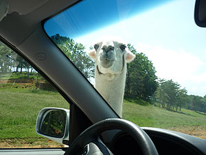 Llama at the car